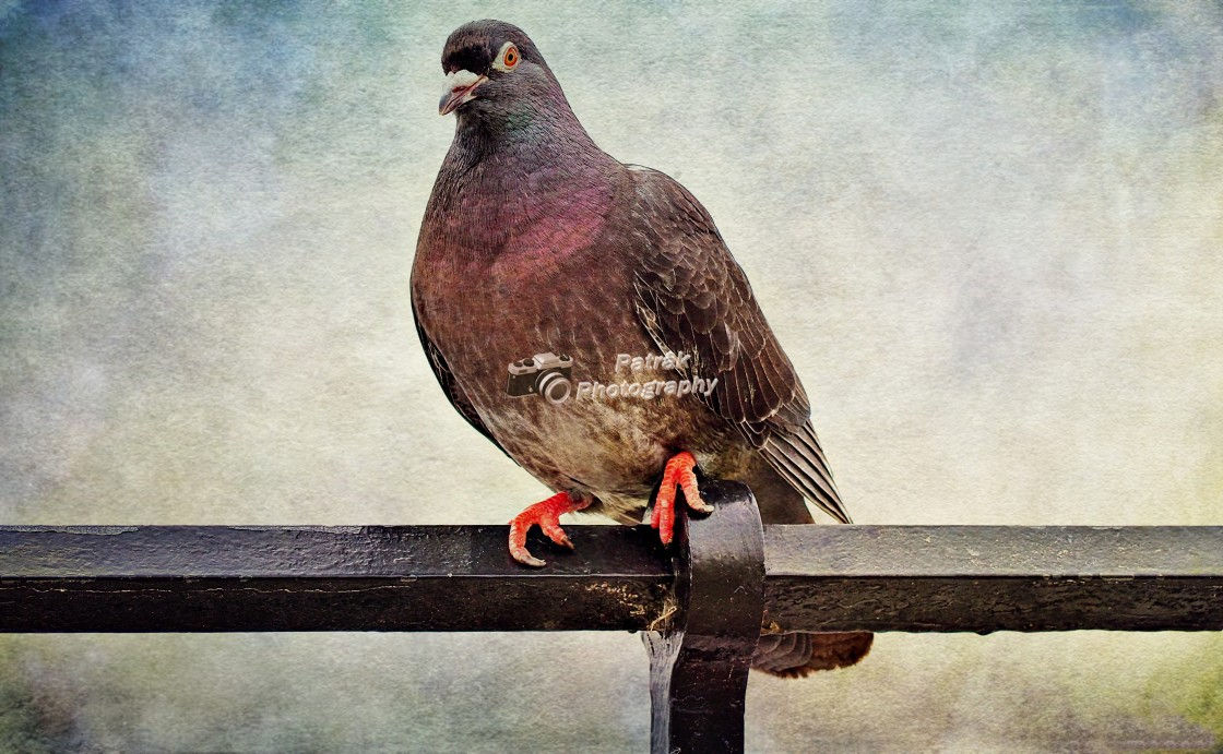 """Feral Seaside Pigeon"" stock image"