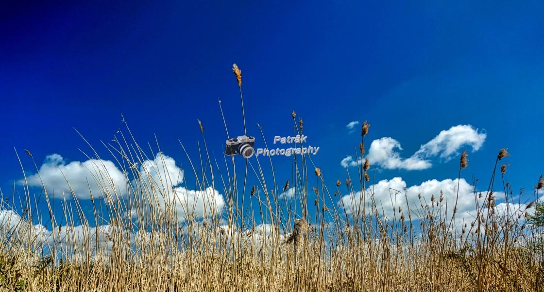 """""""Golden Grasses"""" stock image"""