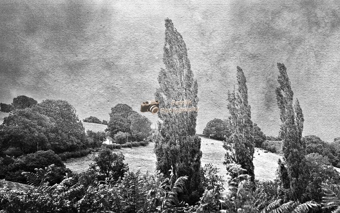 """""""The Three Populars - Garway, Herefordshire (Black & White)"""" stock image"""