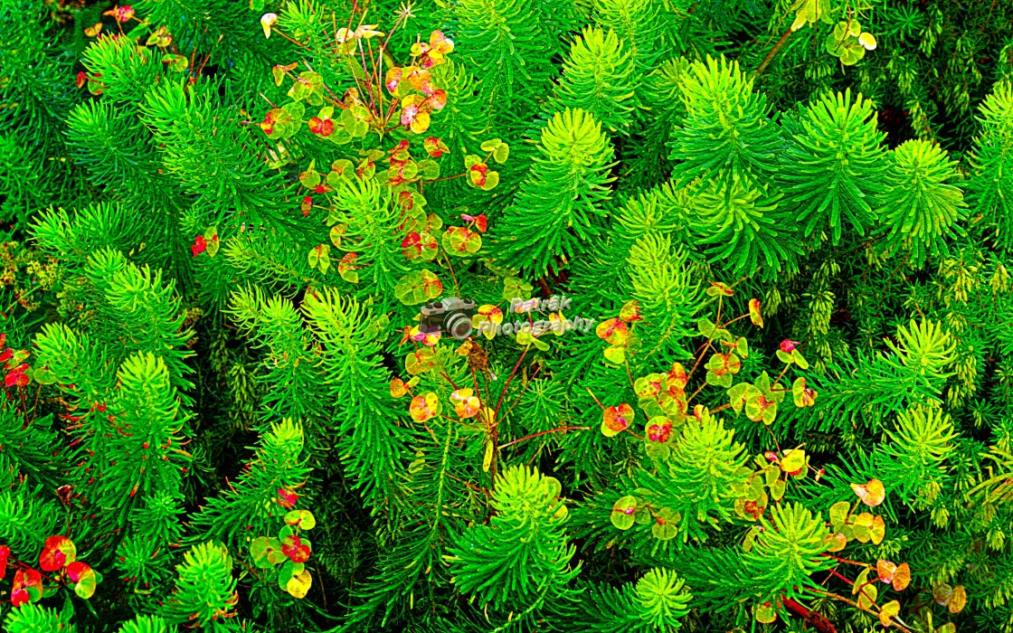 """Luscious Green Euphorbia"" stock image"