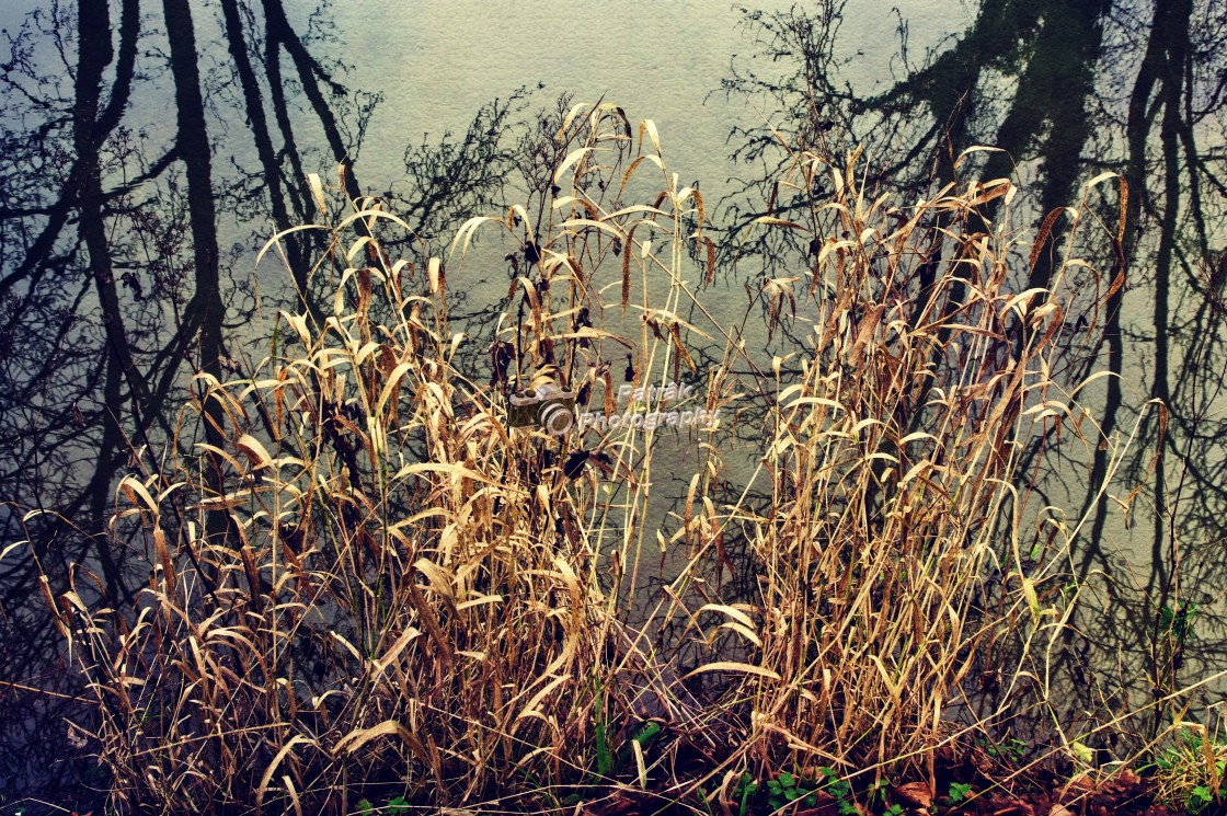 """""""Golden Canalside Reeds - Milton Lilbourne, Wiltshire"""" stock image"""
