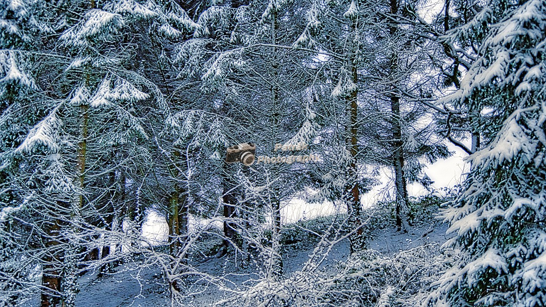 """""""Snow Covered Fir Trees"""" stock image"""
