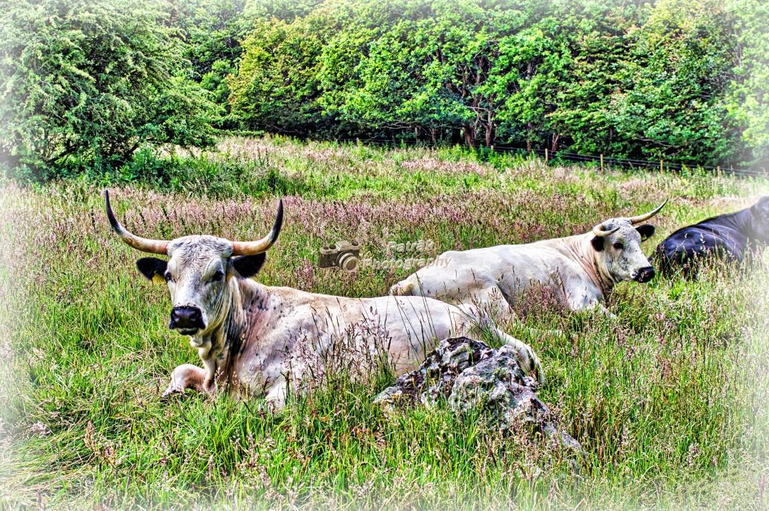 """Ancient White Park Cow"" stock image"