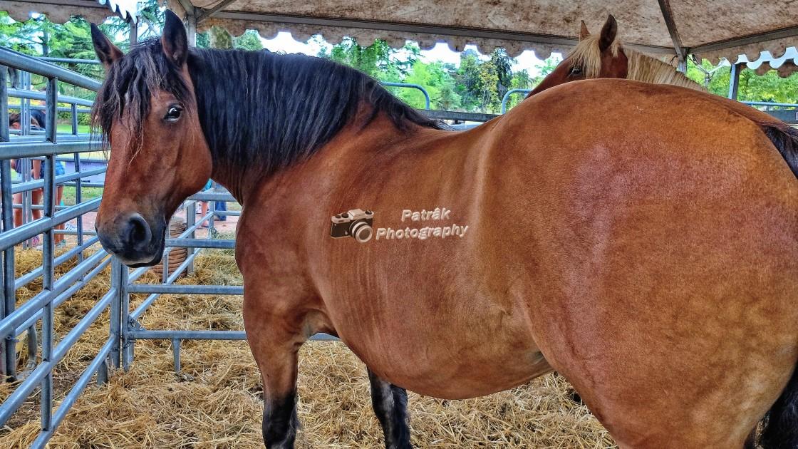 """Cob Normand Horse"" stock image"