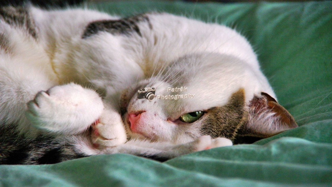 """""""Silver Tabby Cat - Lima"""" stock image"""