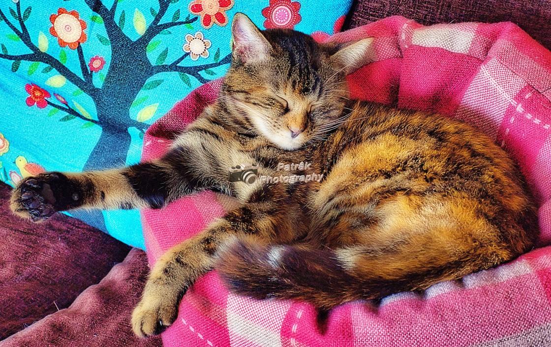 """""""Beautiful Tabby Cat - Lexie"""" stock image"""