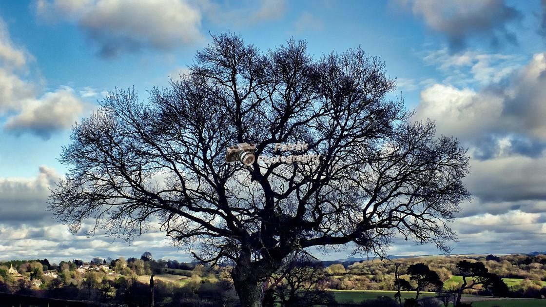 """English Oak Tree"" stock image"