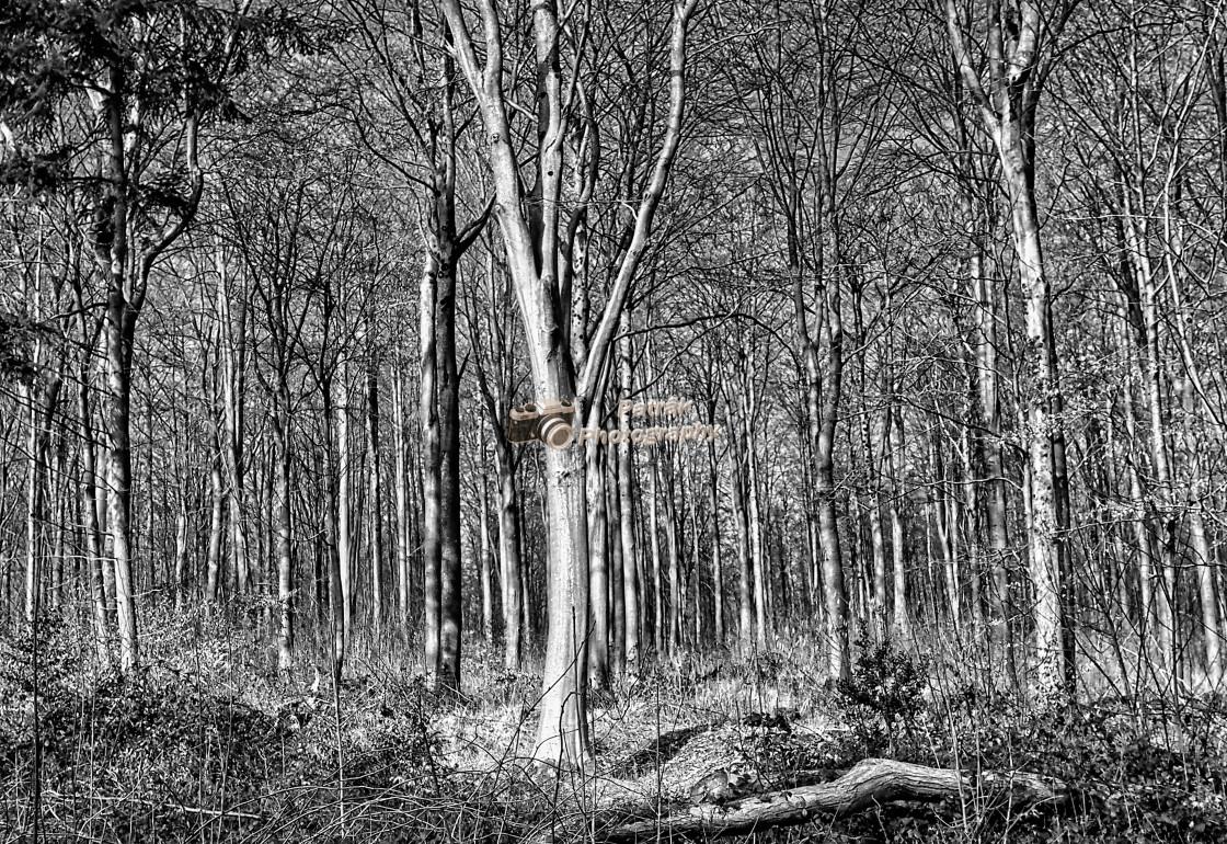 """""""West Woods - Black & White"""" stock image"""