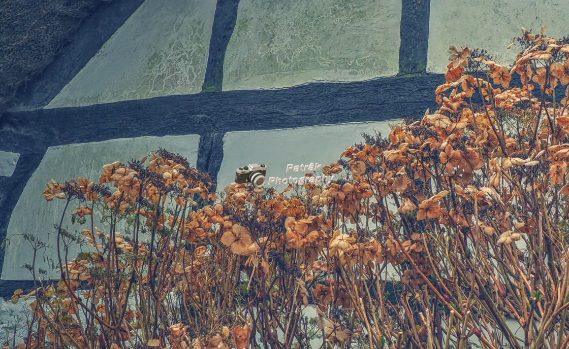"""Cottage Hydrangeas"" stock image"