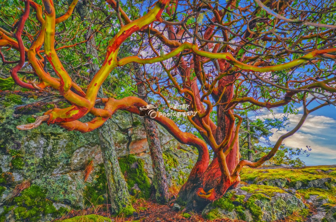 """Arbutus Tree - Vancouver Island, BC"" stock image"