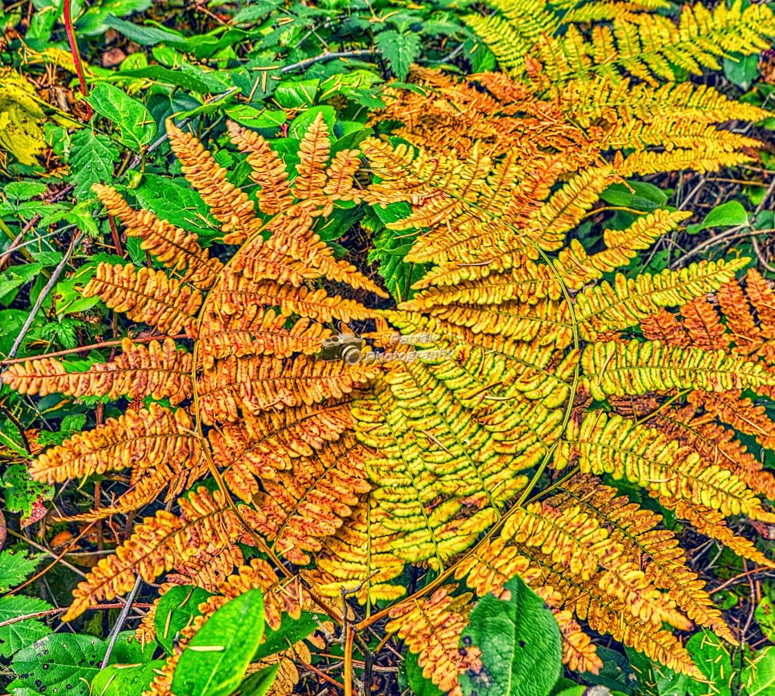 """""""Bracken Ferns"""" stock image"""