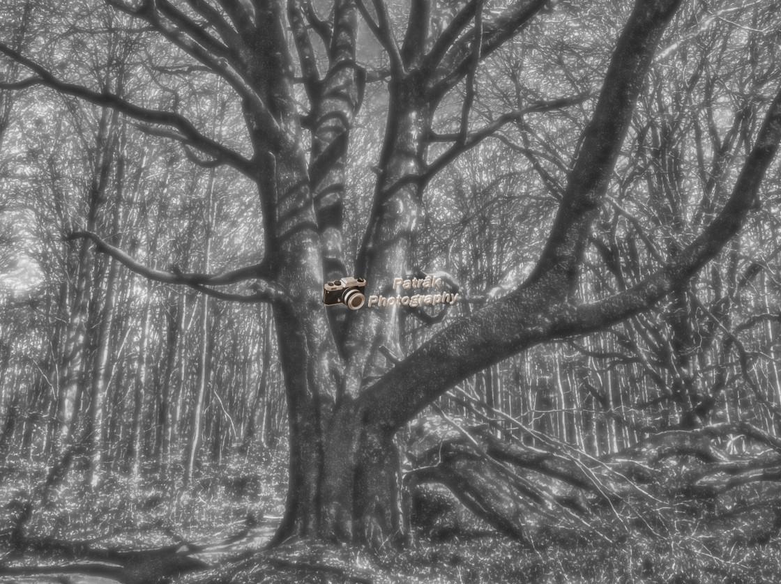 """Majestic Beech - Savernake Forest, Wiltshire, England"" stock image"