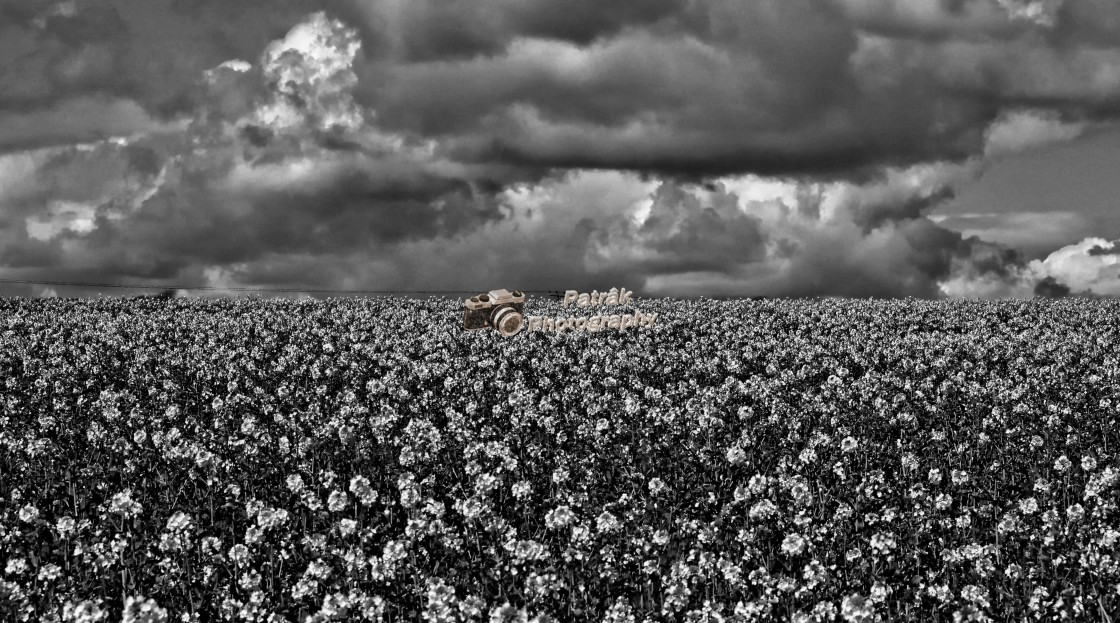 """Rapeseed Field - Black & White"" stock image"