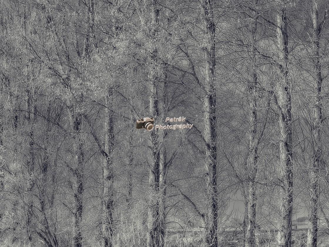"""Shimmering Poplars"" stock image"