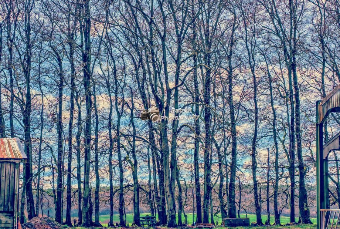 """Line Of Birch Trees"" stock image"
