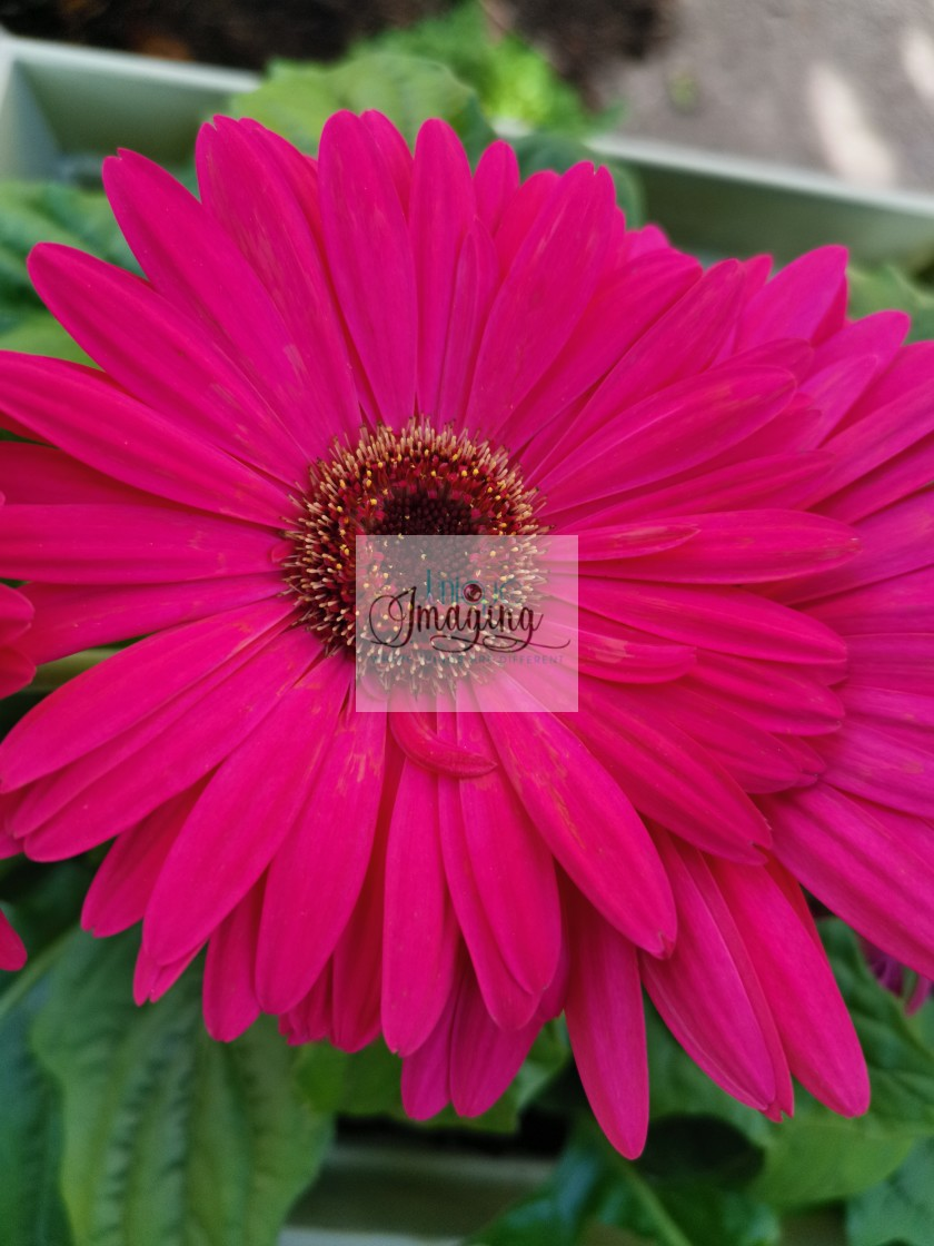 """""""Transvaal Daisy"""" stock image"""
