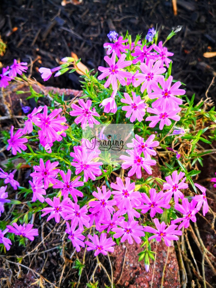 """An array of light pink flowers"" stock image"