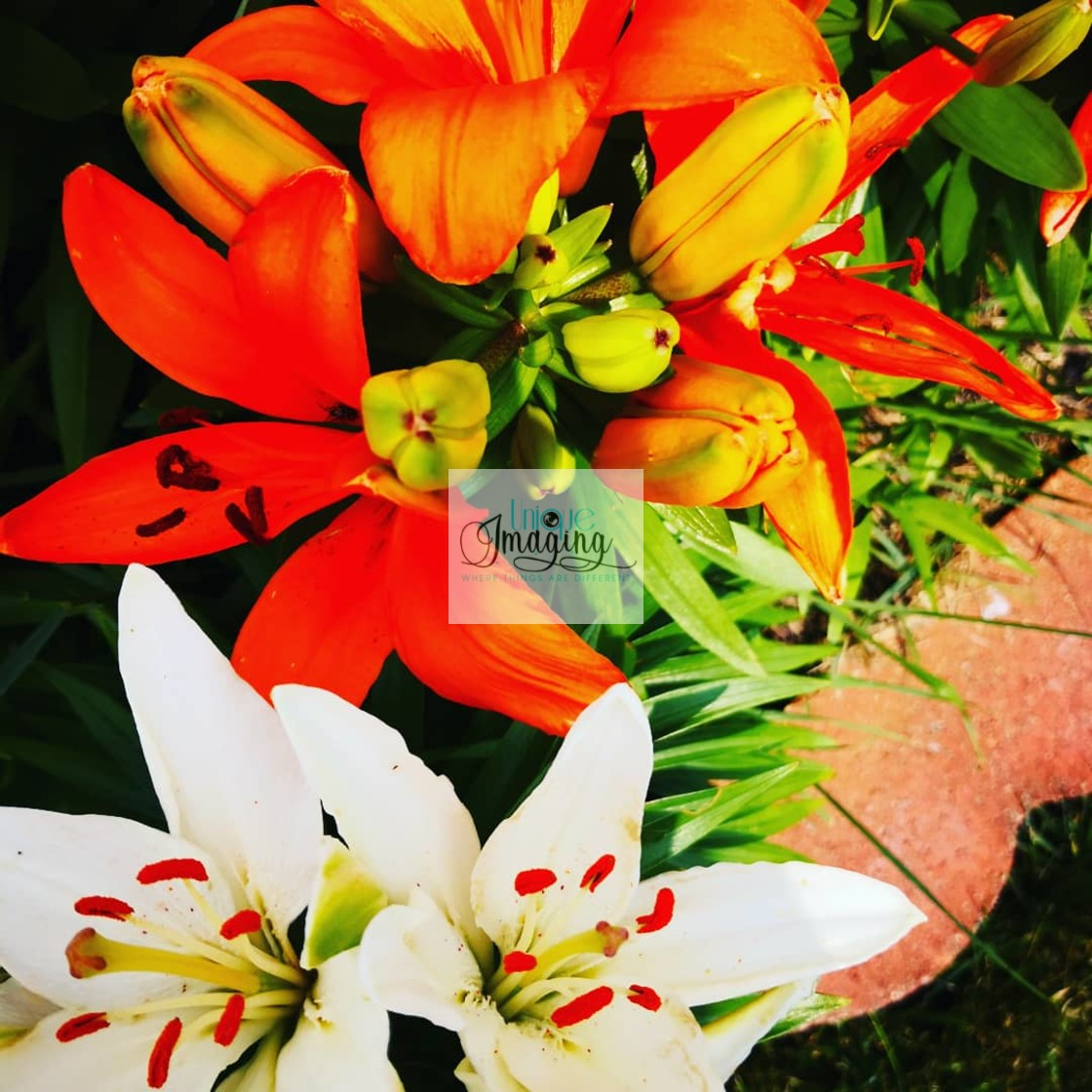 """""""Lillies in bloom"""" stock image"""
