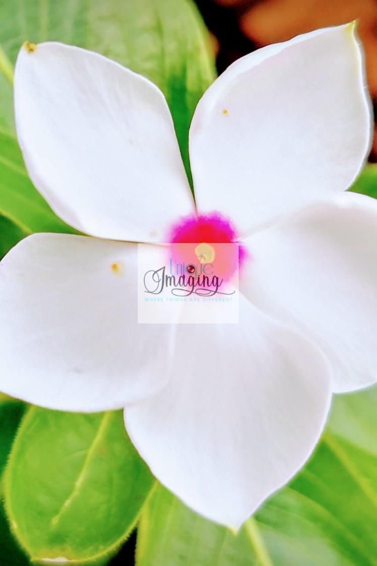 """Madagascar Perewinkle"" stock image"