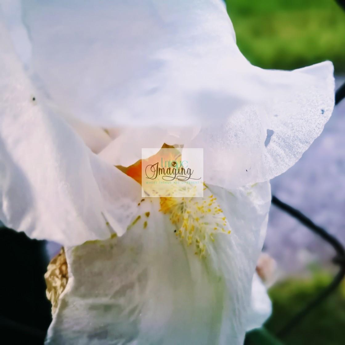 """Southern magnolia"" stock image"