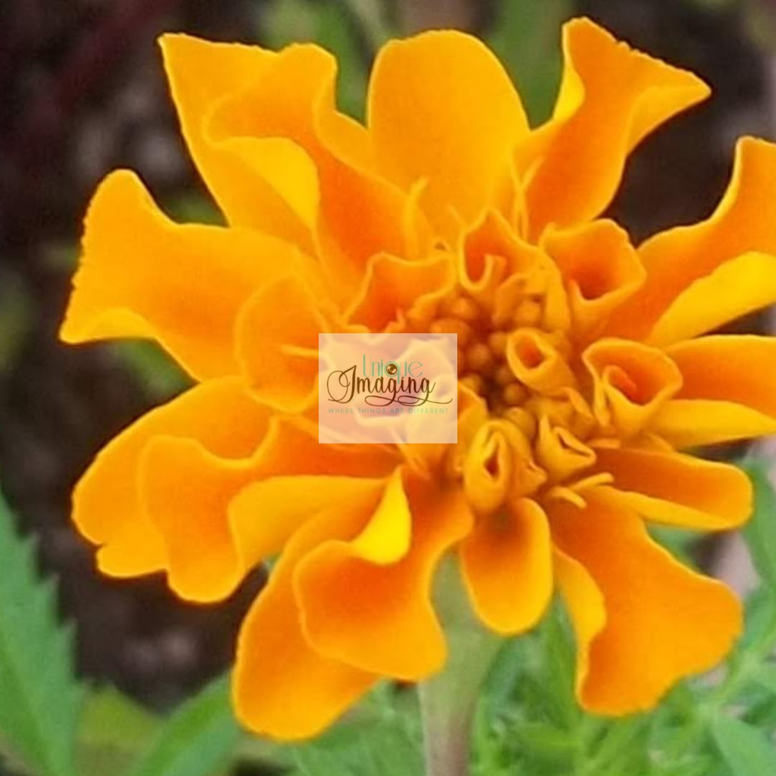 """pot marigold"" stock image"