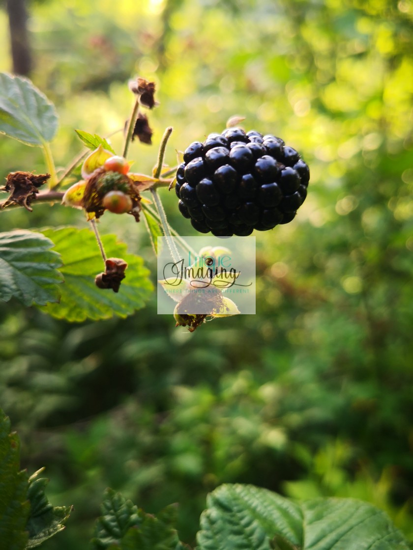 """Blackberries"" stock image"
