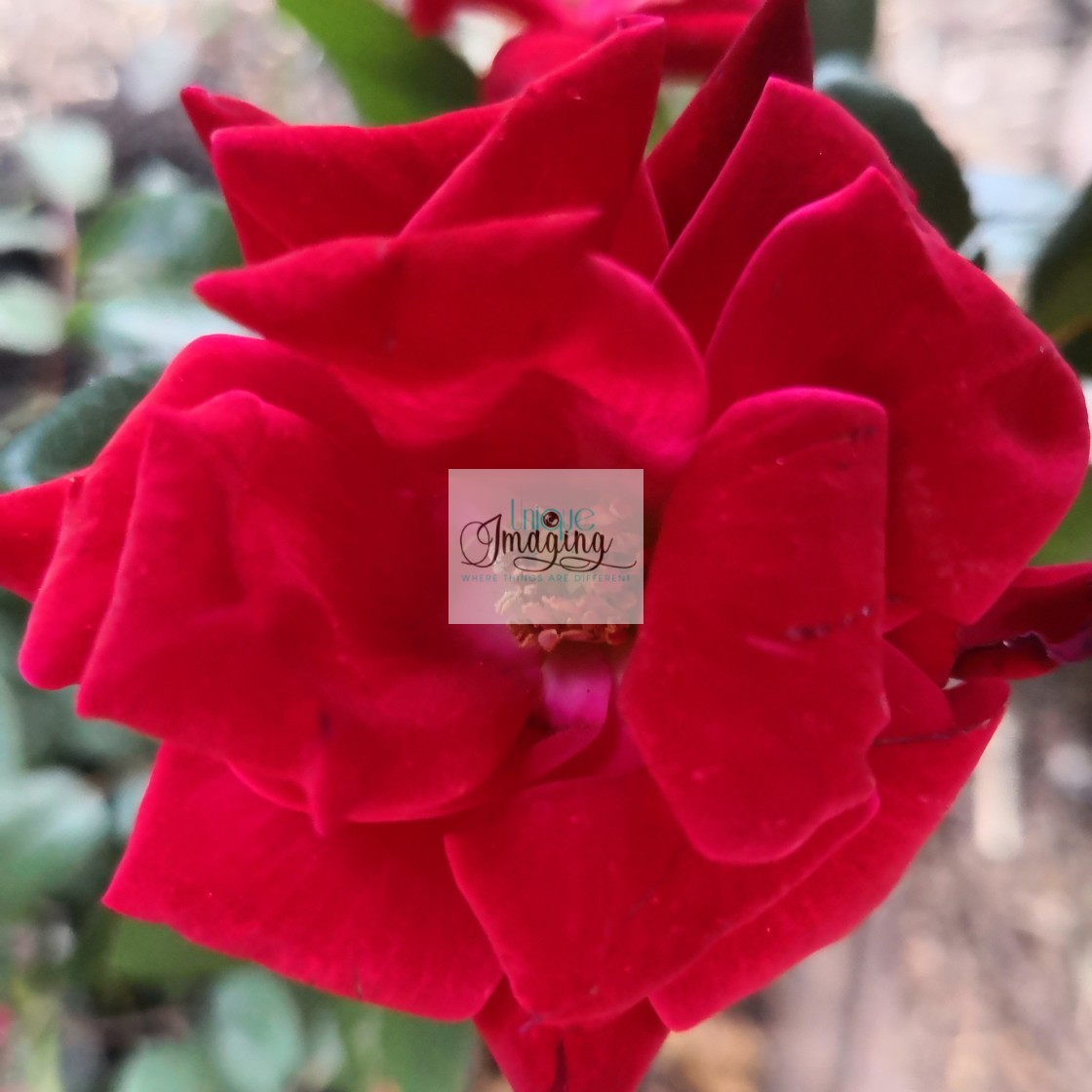 """""""A red rose"""" stock image"""