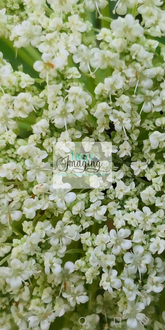 """Queen Anns Lace"" stock image"
