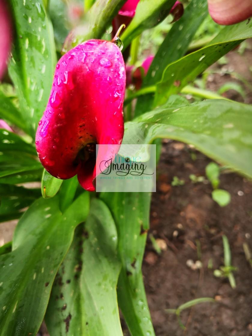 """""""Calla lillie"""" stock image"""