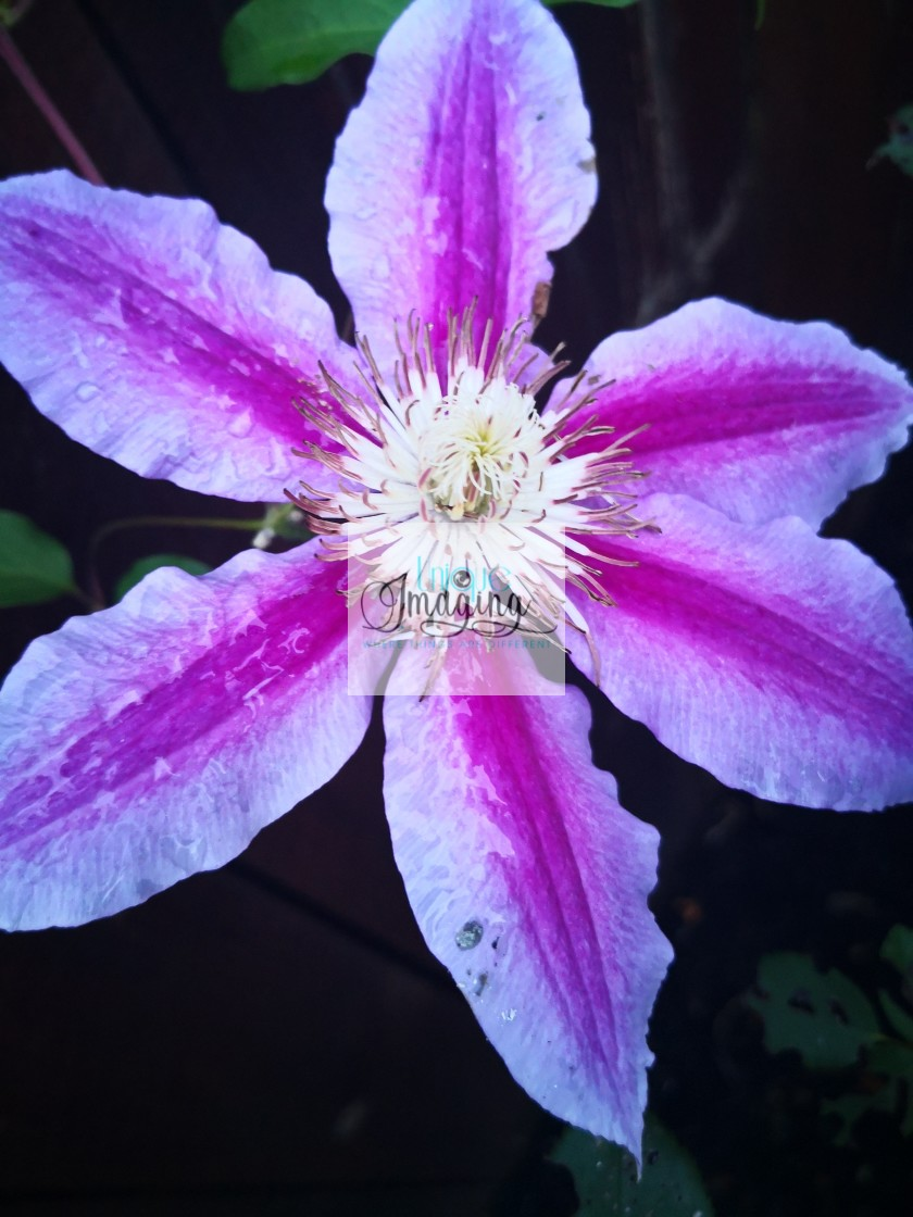 """""""a clematis"""" stock image"""
