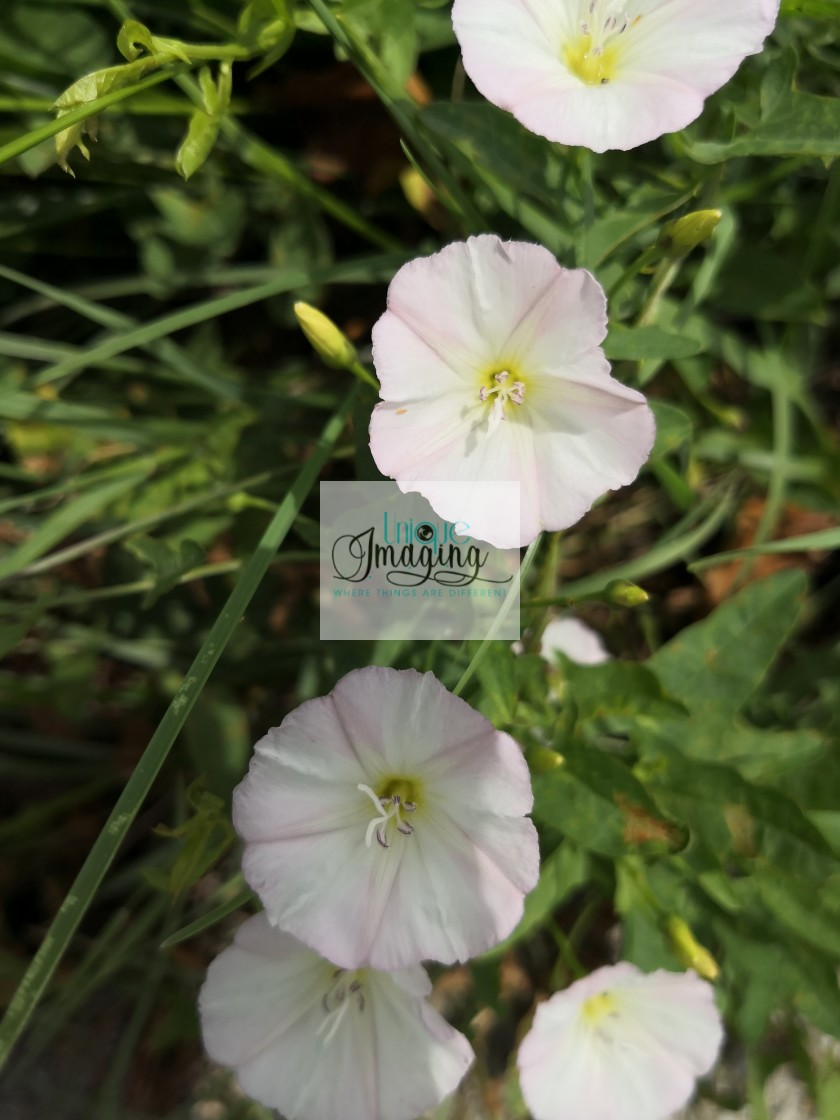 """field bindweed"" stock image"