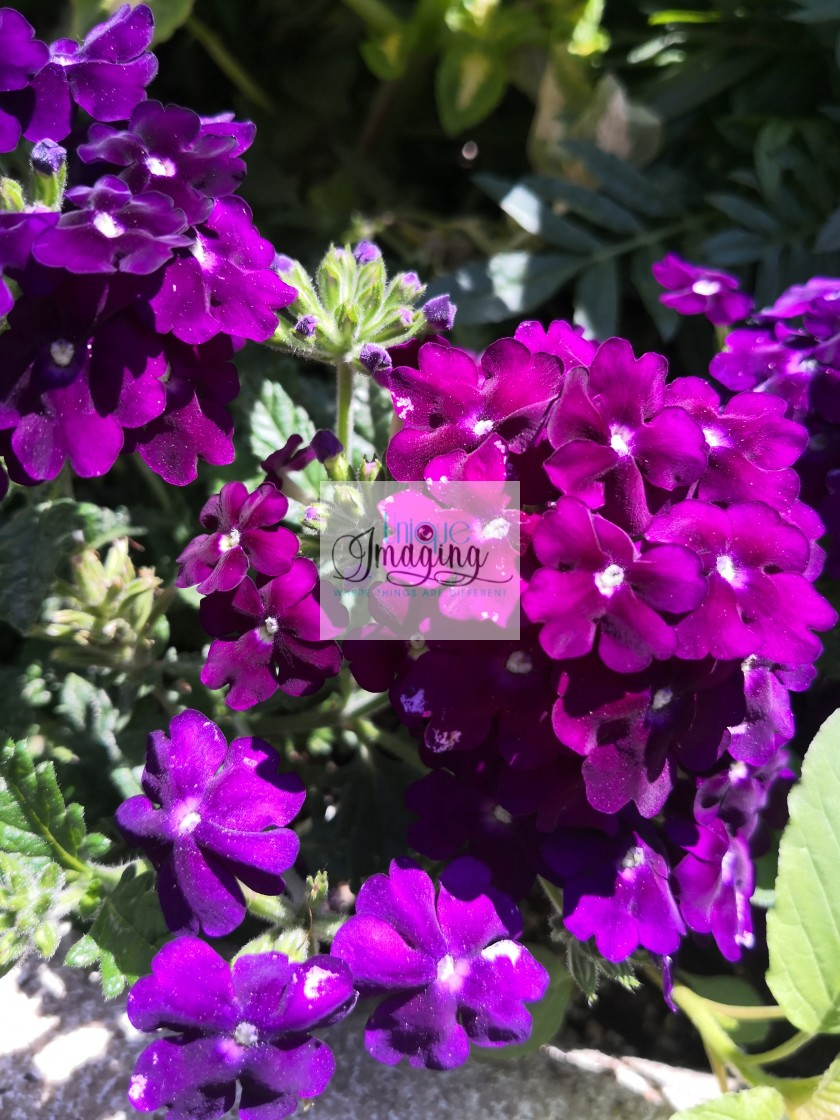 """""""Garden verbena"""" stock image"""