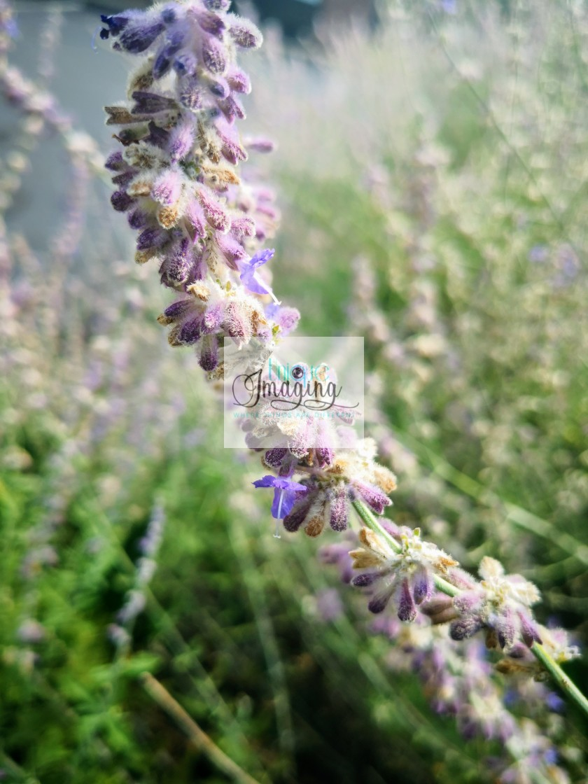 """The Russian Sage plant"" stock image"