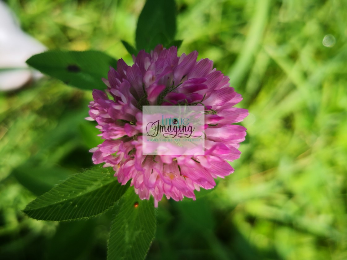"""Red clover"" stock image"