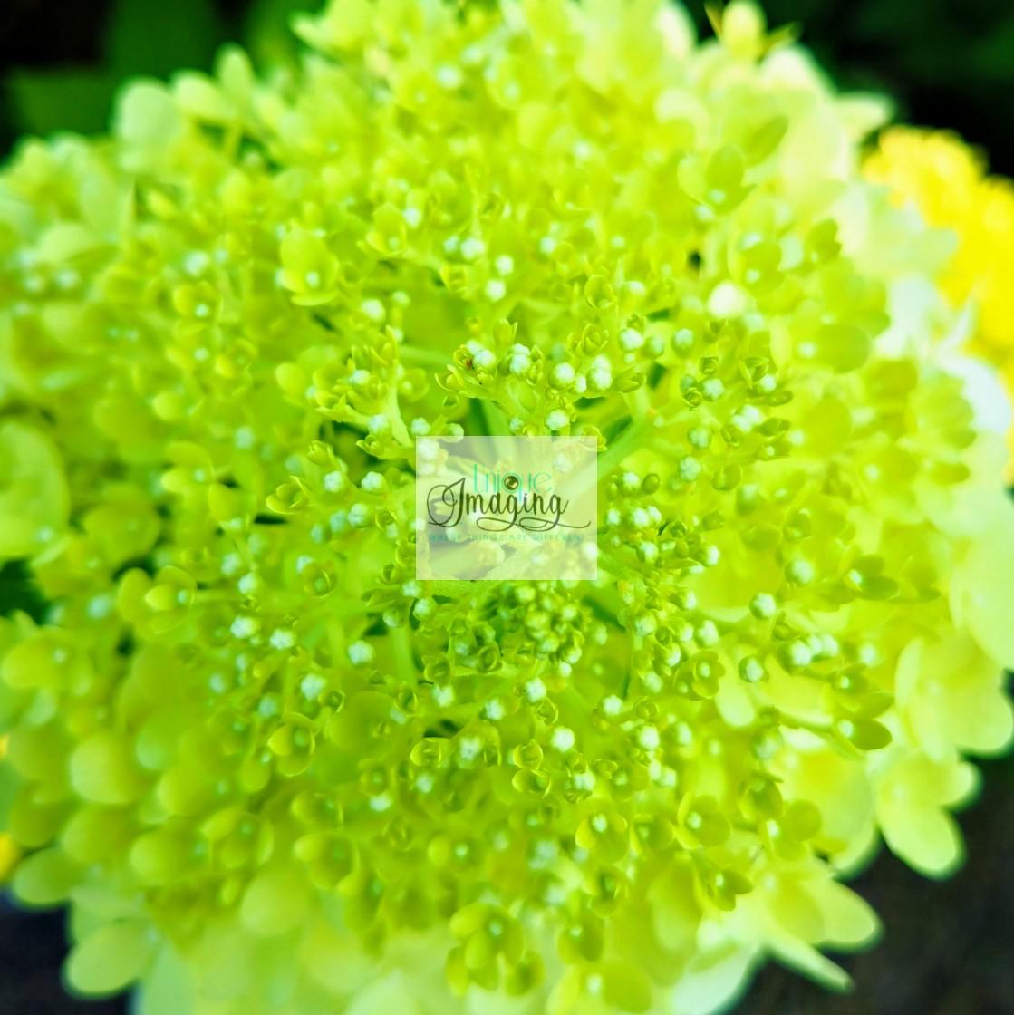 """PeeGee Hydrangea"" stock image"