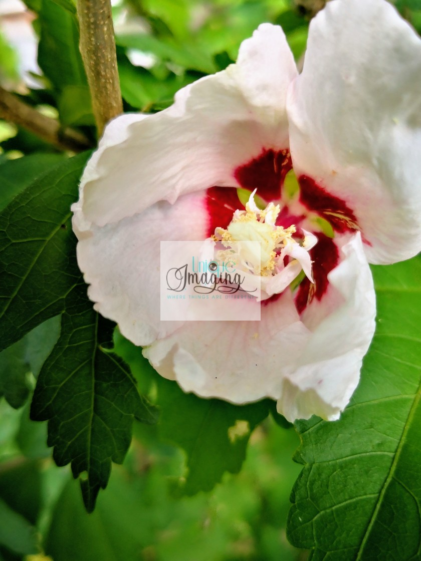 """""""Hibiscus"""" stock image"""