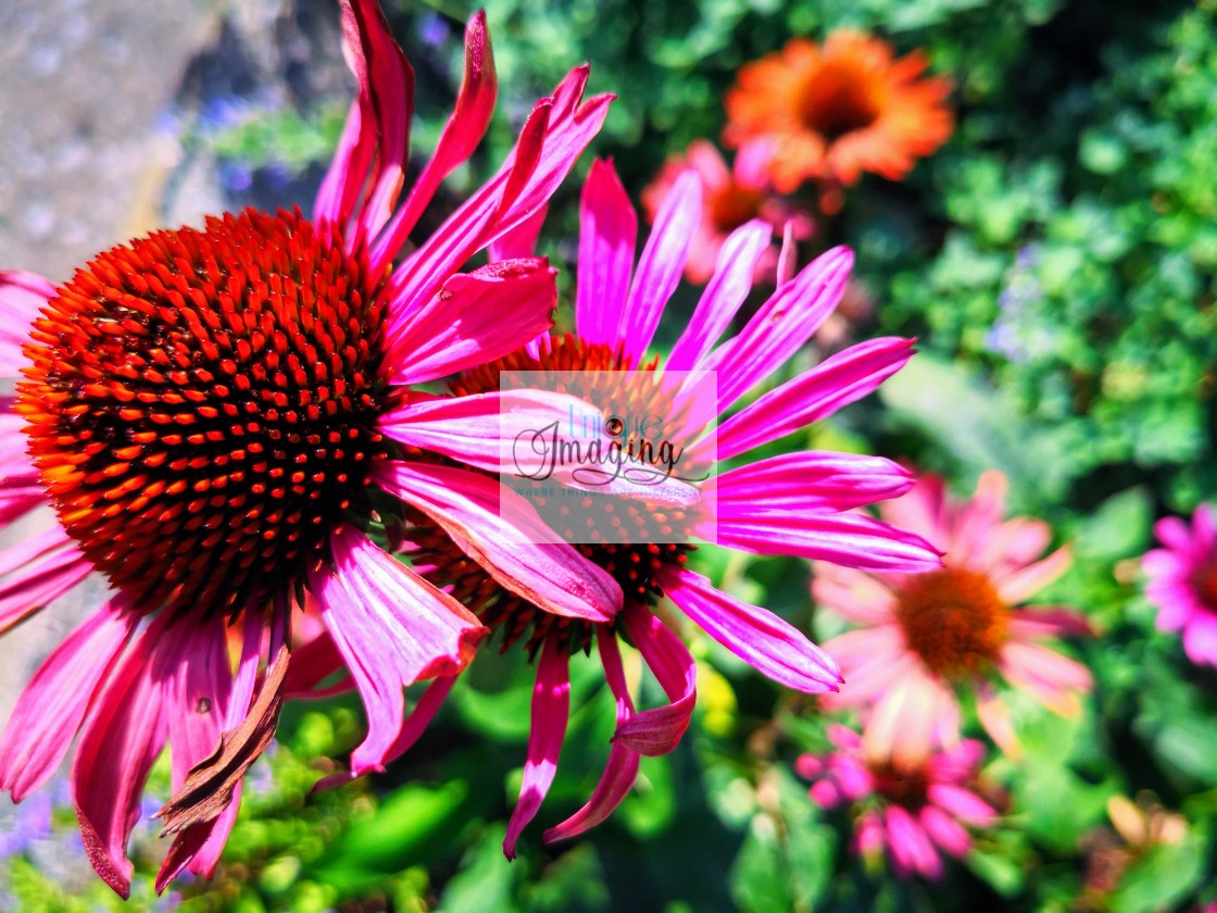 """Purple Coneflower"" stock image"