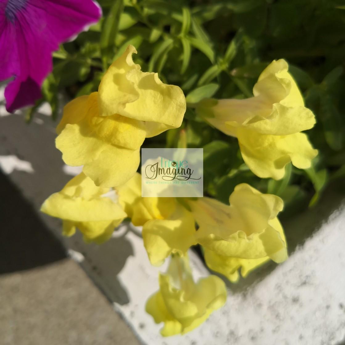 """""""Antirhynum Majus"""" stock image"""