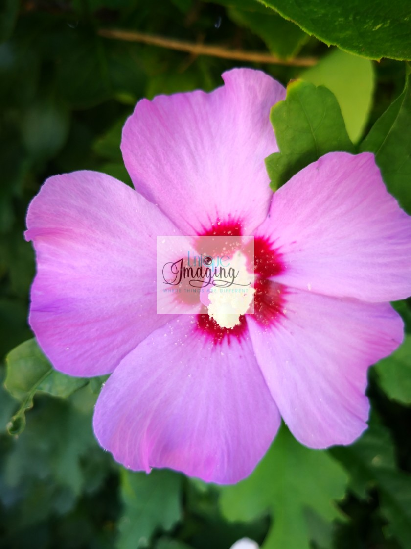 """Pink hibiscus"" stock image"