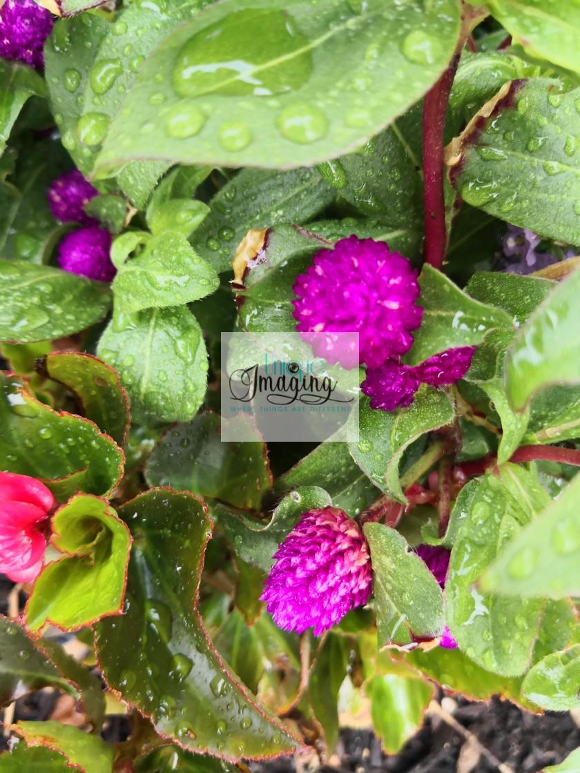 """""""Globe amaranth"""" stock image"""