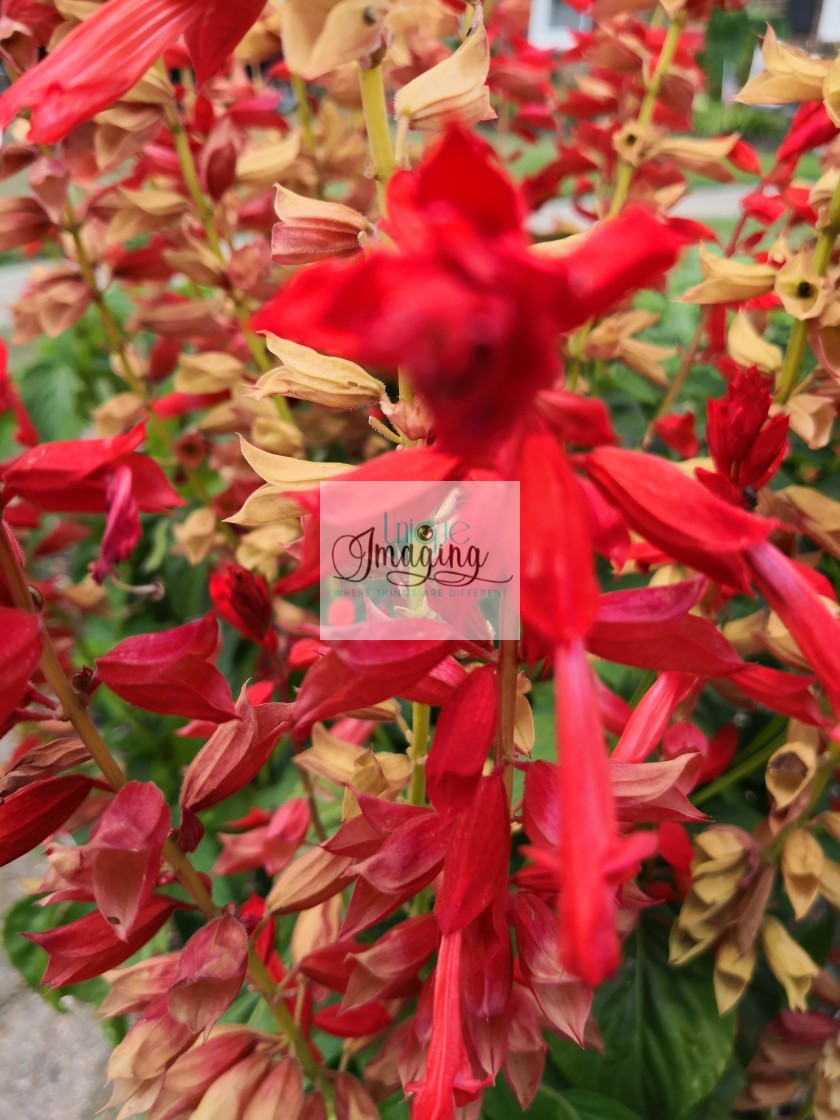 """Bright red flowers of the season"" stock image"