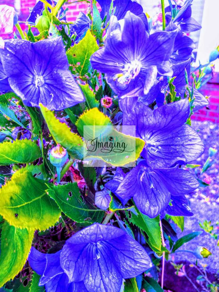 """""""The Flowers with the Blued"""" stock image"""