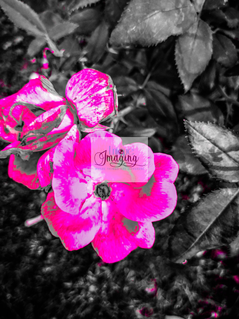 """""""Pink in black and white"""" stock image"""