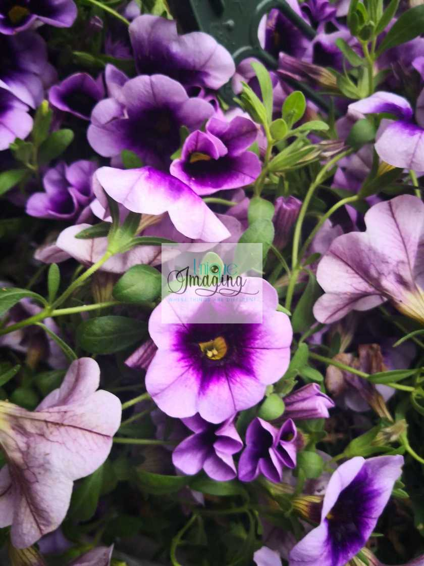 """The Colour Purple"" stock image"