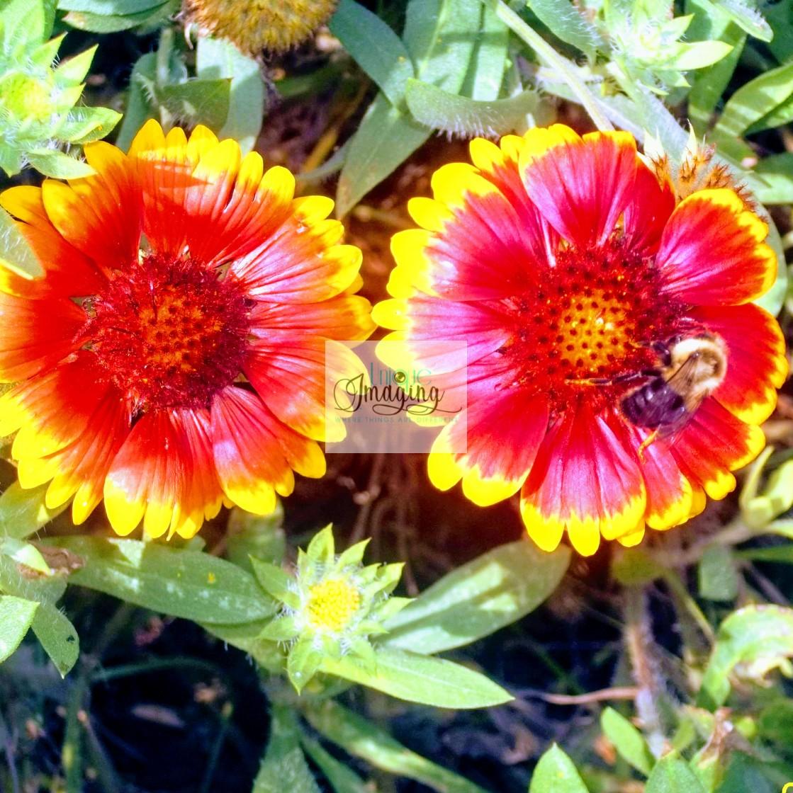 """A bee enjoying a flower"" stock image"