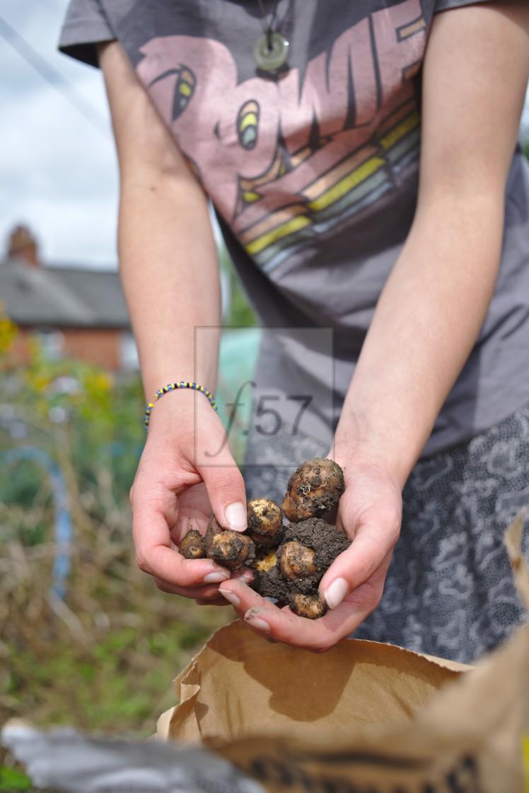 """Harvesting a crop of pink fir apple potatoes"" stock image"