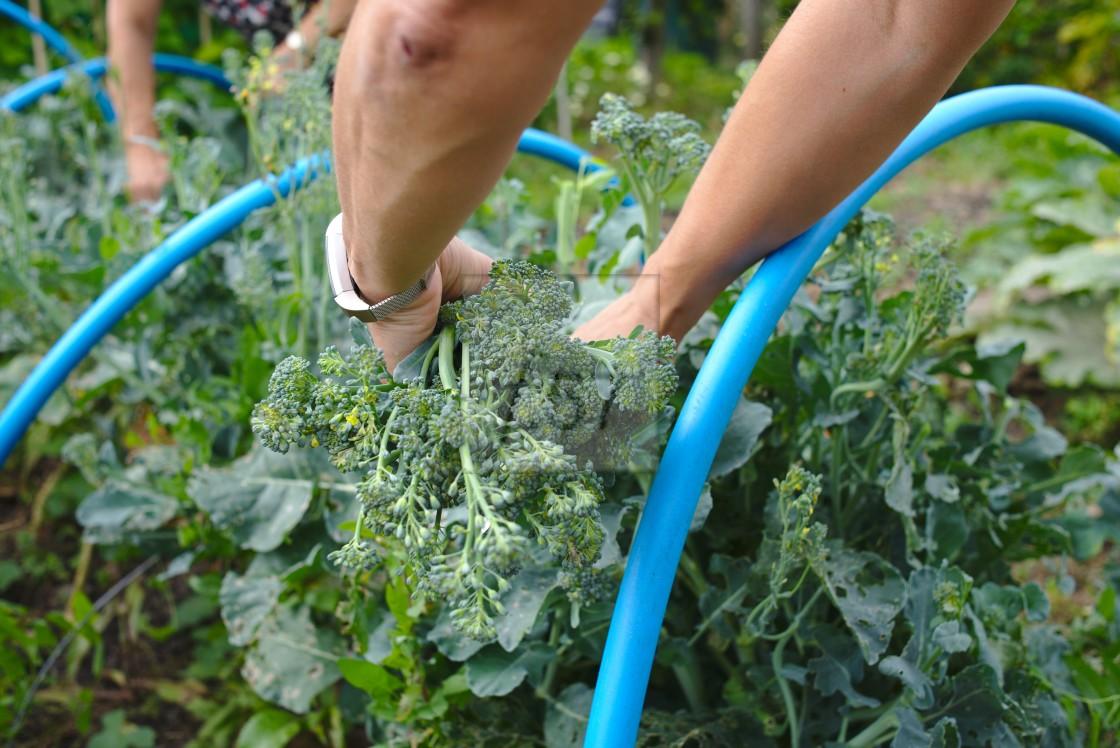 """Picking home grown tenderstem broccoli"" stock image"
