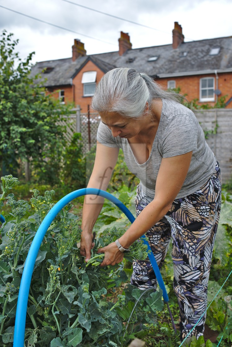 """""""Growing own food at allotment"""" stock image"""