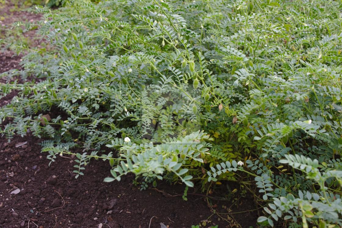 """Chickpea plant"" stock image"