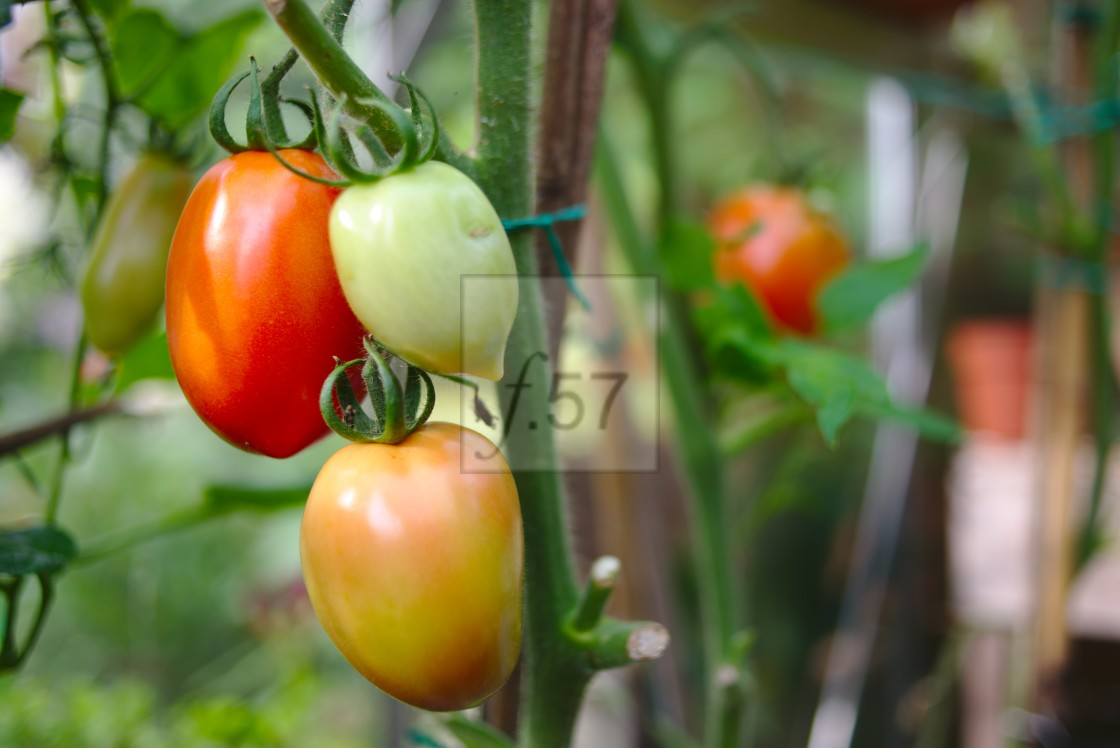 """""""Super Mama tomatoes ripening on the vine"""" stock image"""